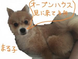 愛犬まる子 ポメですが→柴犬カット